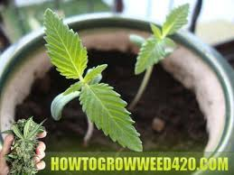 best light for weed seedlings which growing medium works best how to grow weed fast indoor