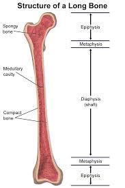 Anatomy Of Human Body Bones Epiphysis Wikipedia