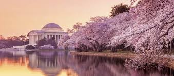 cherry blossom pics out and about dc cherry blossom festival nano asian dining