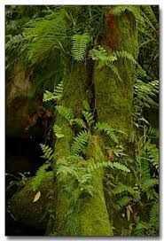 canopy amazon rainforest fern copia jpg