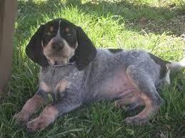 bluetick coonhound off leash 163 best bluetick coonhound images on pinterest bluetick