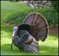 thanksgiving turkey song i will survive how well do you know your turkey