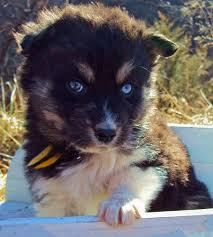 rescue an australian shepherd puppy the husky mix adoptable puppies puppies daily puppy
