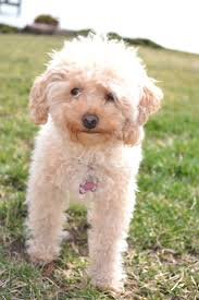 poodle x bichon frise 21 best cute rescue dogs images on pinterest rescue dogs