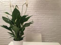 to take care of a peace lily plant indoors