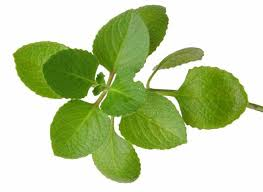 medicinal plant oregano kinds of ornamental plants