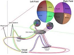 The Anatomy And Physiology Of The Eye Visual System Wikipedia