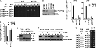 in vivo function of tryptophans in the arabidopsis uv b