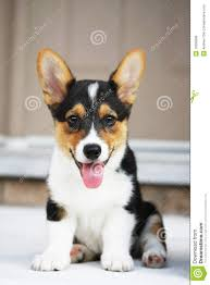pembroke welsh corgi puppy royalty free stock image image 10392666