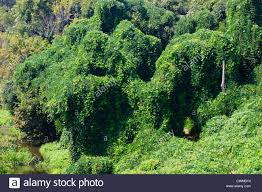 native plant species hillside overgrown with the plant kudzu pueraria lobata