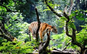 bengal tiger in jungle wallpapers hd wallpapers id 15726