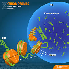 chromosomes fact sheet national human genome research institute