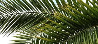 palm leaves for palm sunday palm sunday or sunday david l hansen
