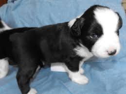 australian shepherd queen creek az australian shepherd puppies and dogs for sale in albany georgia