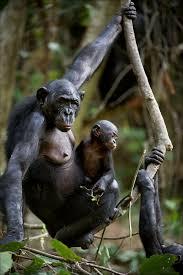siege social bonobo bonobos prefer bullies guys