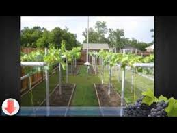 Growing Grapes Trellis How To Grow Grapes In Your Backyard Youtube