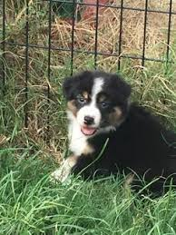 australian shepherd quad cities australian shepherd puppies dogs u0026 puppies gumtree australia