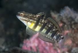 shrimp goby profiles facts information and pictures