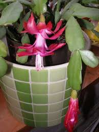 cactus thanksgiving cactus and easter cactus
