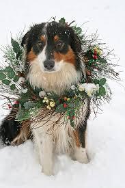 australian shepherd issues christmas dog by susyr22 via flickr holiday dogs australian