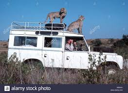 land rover kenya cheetah sitting on roof of landrover nairobi national park kenya