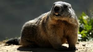 groundhog day 2017 punxsutawney phil predicts long winter nbc