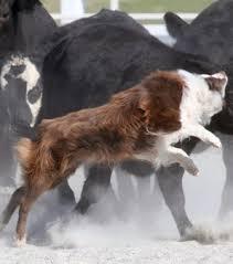 pictures of australian shepherds australian shepherds