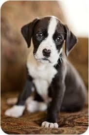 buy a bluetick coonhound puppy annie adopted puppy howell mi labrador retriever bluetick