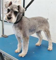 schnauzers hair cuts teddy bear cut mini schnauzer google search schnauzer