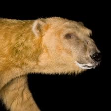 Are Bears Color Blind Polar Bear National Geographic