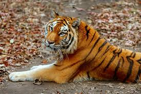 amur tiger connecticut s beardsley zoo