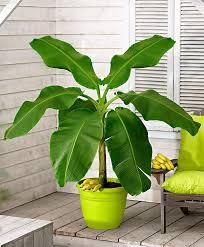 buy a container plant now japanese banana bakker com