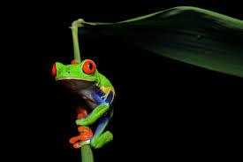 file red eyed tree frog agalychnis callidryas 3 jpg wikimedia