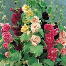 Hollyhock Flowers Hollyhock The Dark Red One Plants I Like Pinterest