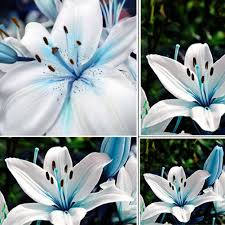 amazon com 50pcs blue rare lily bulbs seeds planting flower