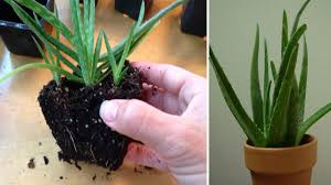 benefits of aloe vera plant the oxygen bomb take out all the
