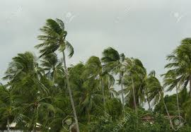 wind blowing palm trees in a stock photo picture and