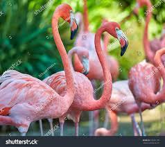 pink flamingos stock photo 432201178 shutterstock