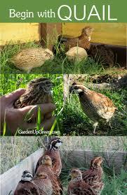 best 25 quail coop ideas on pinterest quail raising quail and