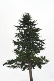 douglas fir pseudotsuga menziesii 6760 osc seeds