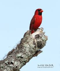 state bird of ohio in florida being the state bird of oh u2026 flickr