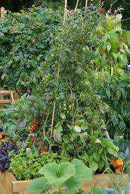 tomato plant on teepee pole stakes in veg garden plant u0026 flower