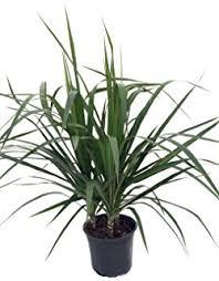 25 Easy Houseplants Easy To by Amazon Com Madagascar Dragon Tree Dracaena Marginata 4