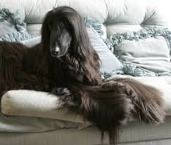 afghan hound hairstyles 5 reasons an afghan hound might be the right dog breed for you