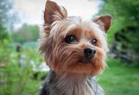 yorkie poo haircut yorkie haircuts 100 yorkshire terrier hairstyles pictures