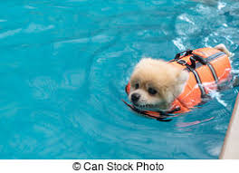 husky dog puppy in swimming pool with toy husky dog puppy