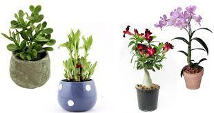 indoor plants india top 10 table top plants for your garden blog nurserylive com