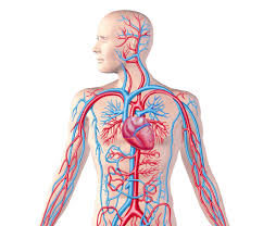 pictures without labels on circulatory system organ anatomy