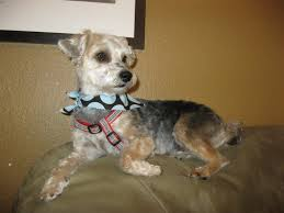 yorkie poo haircut groomercarley excellent affordable dog grooming by carley page 2