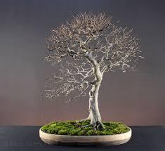 fagus sylvatica updated image of my fagus sylvatica european beech bonsai bonsai